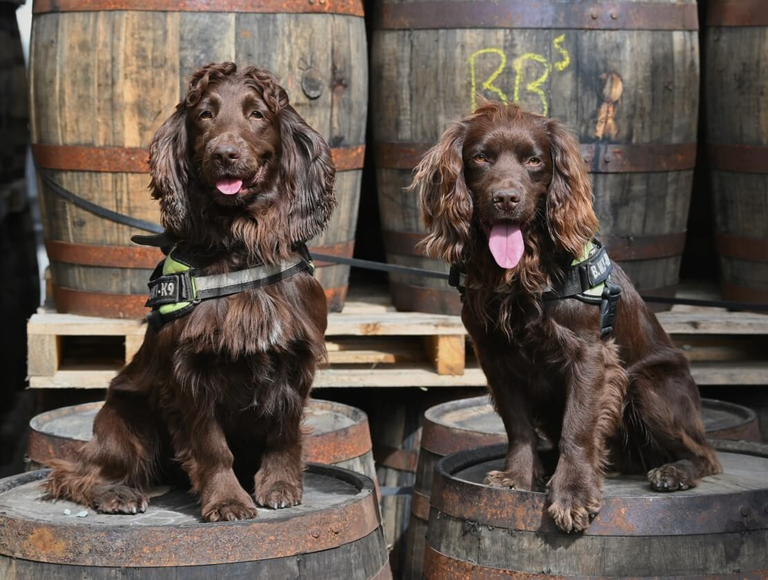 Rocco lands dream job as Grant's Whisky's sniffer dog